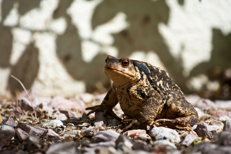 Red eyed toad