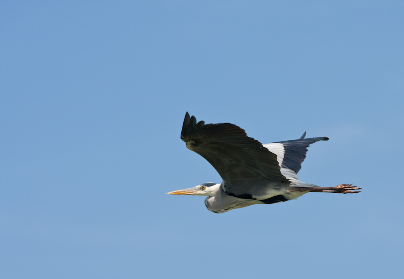 Heron at Albufera, Spain